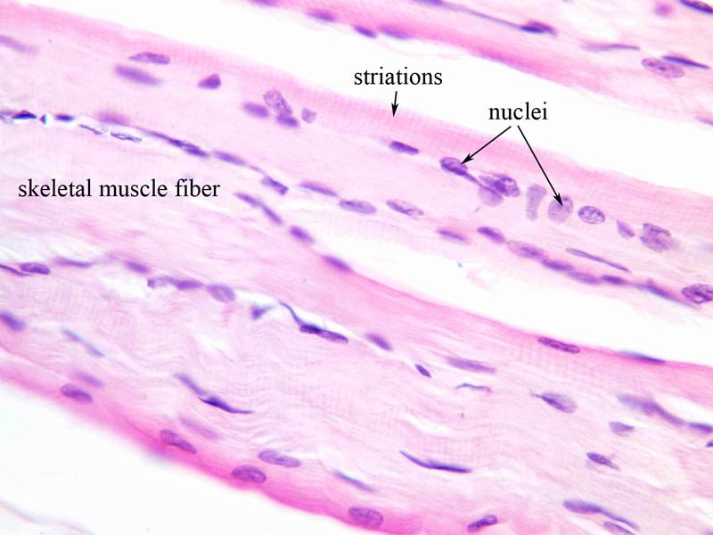 Skeletal Muscle Tissue Labeled Diagram