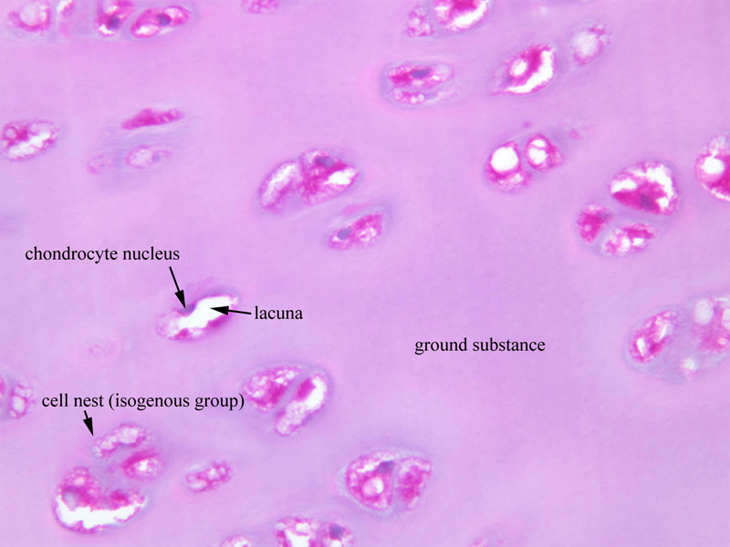 Hyalinecartilageimages Main Medical Histology
