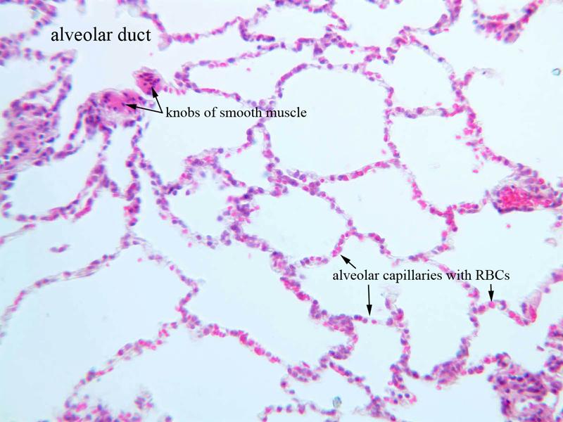 Lung tissue histology alveoli