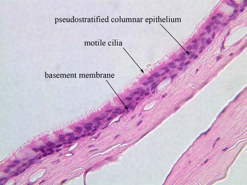 PseudostratifiedImages < Main < Medical Histology