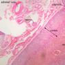 B59, Adrenal Gland, 2.5x Labeled (H&E)